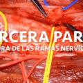 transferencias nerviosas suturas